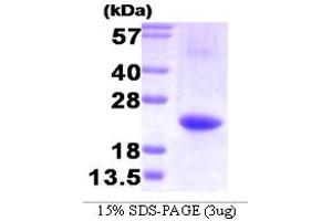 Image no. 1 for Interleukin 32 (IL32) (AA 1-131) protein (His tag) (ABIN667091)
