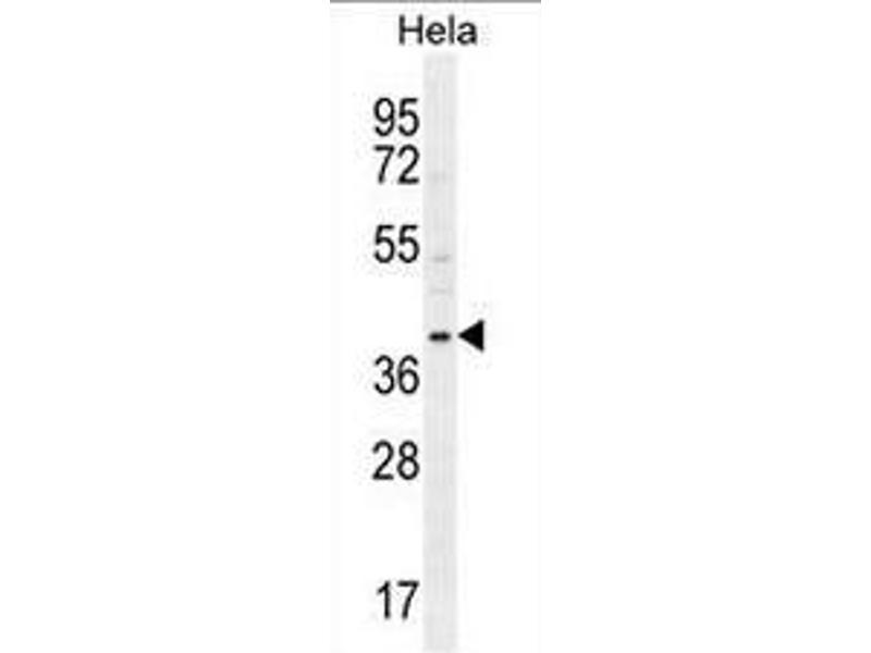 Western Blotting (WB) image for anti-Cyclin G1 (CCNG1) (AA 20-53), (N-Term) antibody (ABIN951756)
