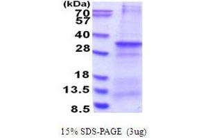 Image no. 1 for Canopy 4 Homolog (Zebrafish) (CNPY4) (AA 22-248) protein (His tag) (ABIN6387433)