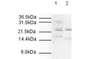 Image no. 1 for anti-Anaphase Promoting Complex Subunit 10 (ANAPC10) antibody (ABIN95220)