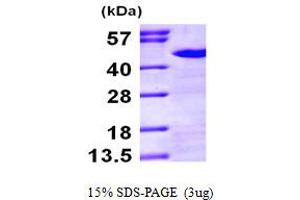 Image no. 1 for NCK Adaptor Protein 1 (NCK1) (AA 1-377) protein (His tag) (ABIN667017)