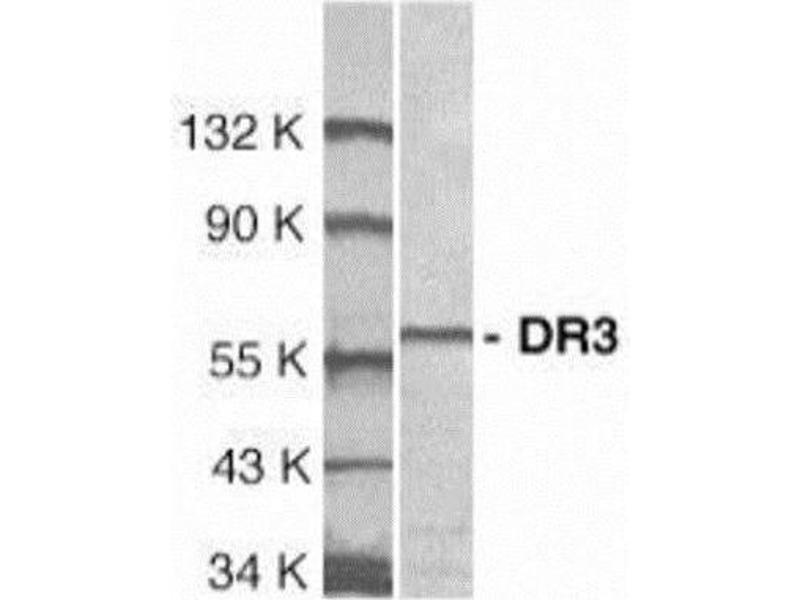 Western Blotting (WB) image for anti-Tumor Necrosis Factor Receptor Superfamily, Member 25 (TNFRSF25) antibody (ABIN4306228)