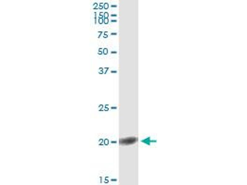 Immunoprecipitation (IP) image for anti-FGF1 antibody (Fibroblast Growth Factor 1 (Acidic)) (AA 46-155) (ABIN515608)