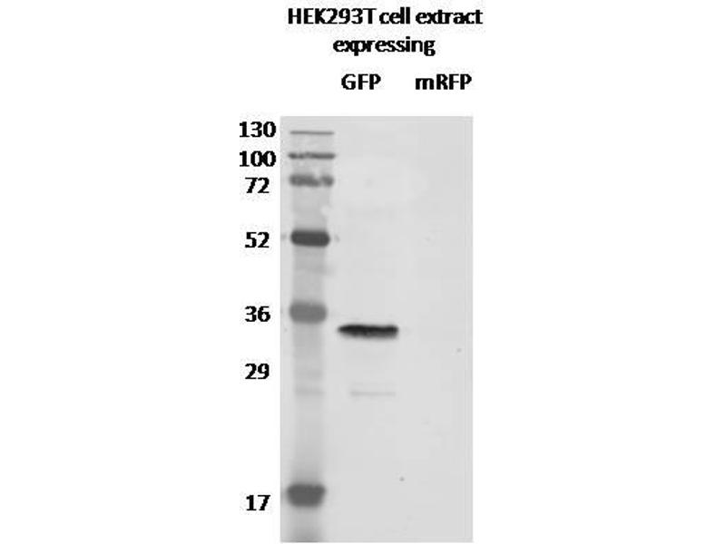 Western Blotting (WB) image for anti-GFP antibody (Green Fluorescent Protein) (ABIN398304)
