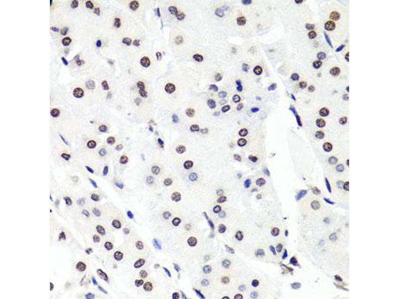 Image no. 2 for anti-Histone Cluster 1, H2bg (HIST1H2BG) antibody (ABIN6572071)
