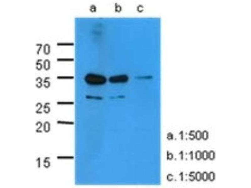 Western Blotting (WB) image for anti-KLKB1 antibody (Kallikrein B, Plasma (Fletcher Factor) 1) (AA 25-261) (ABIN4346083)