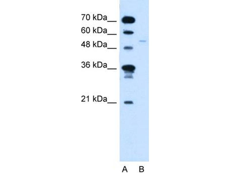 Western Blotting (WB) image for anti-Retinoid X Receptor, gamma (RXRG) (C-Term) antibody (ABIN2780815)