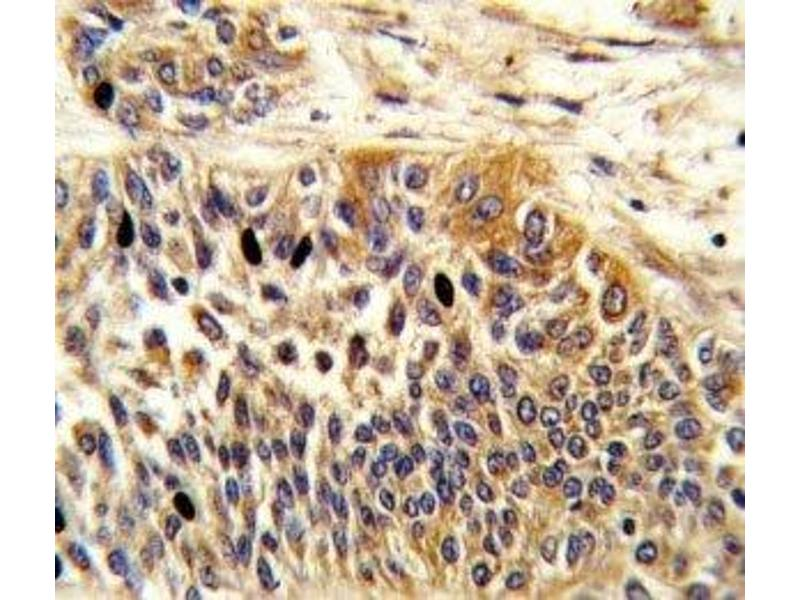 Immunohistochemistry (IHC) image for anti-WNT4 antibody (Wingless-Type MMTV Integration Site Family, Member 4) (AA 211-239) (ABIN3029633)