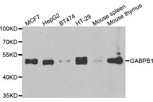 Image no. 1 for anti-GA Repeat Binding Protein, beta 1 (GABPB1) antibody (ABIN6570773)