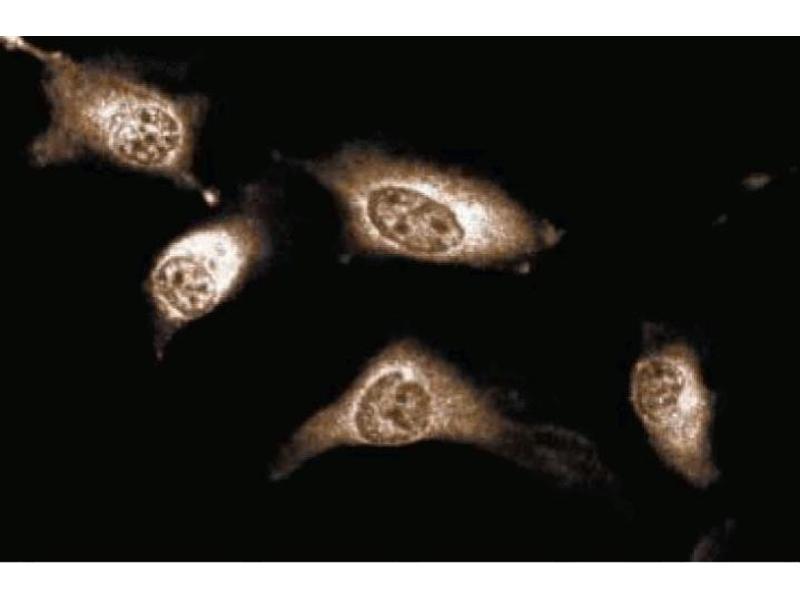 Immunofluorescence (IF) image for anti-Janus Kinase 1 (JAK1) (AA 551-766) antibody (ABIN967841)