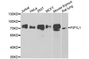 Image no. 2 for anti-FIP1 Like 1 (S. Cerevisiae) (FIP1L1) antibody (ABIN6140640)