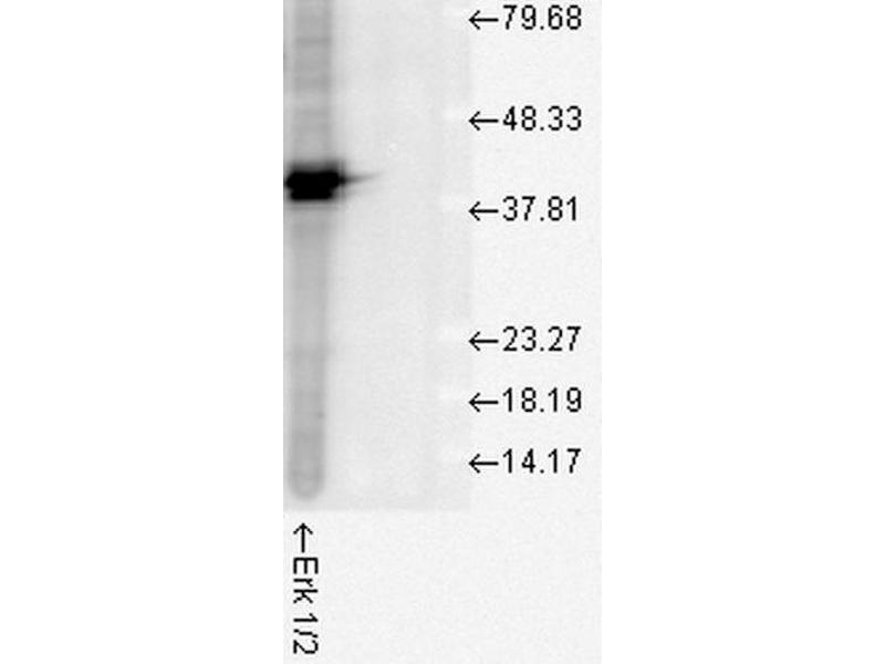 Western Blotting (WB) image for anti-Mitogen-Activated Protein Kinase 3 (MAPK3) antibody (PE-Atto 594) (ABIN2486923)