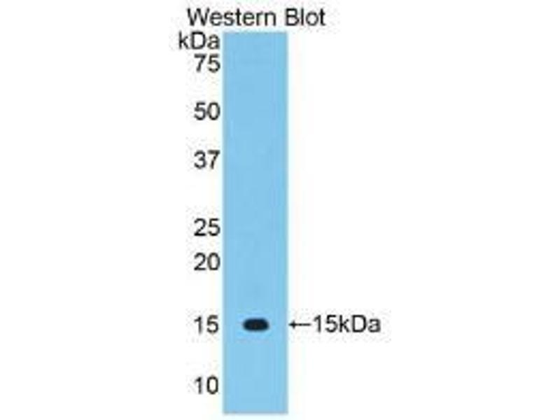 Western Blotting (WB) image for anti-Vascular Endothelial Growth Factor C (VEGFC) (AA 108-223) antibody (ABIN2905461)