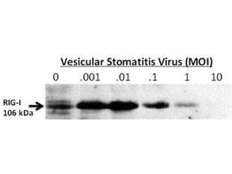image for anti-DEAD (Asp-Glu-Ala-Asp) Box Polypeptide 58 (DDX58) (AA 894-925), (C-Term) antibody (ABIN388602)