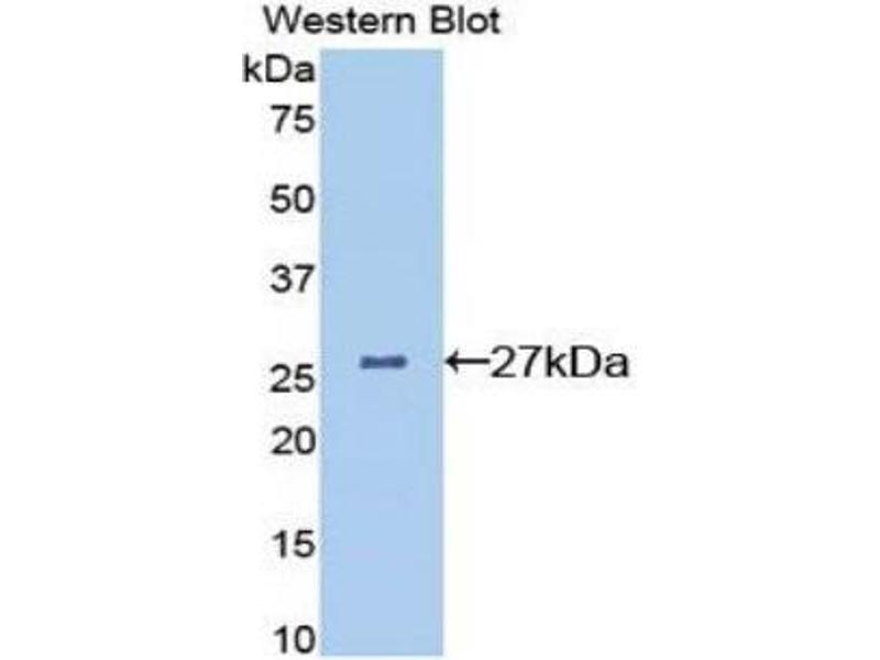 Western Blotting (WB) image for anti-Clusterin (CLU) (AA 227-447) antibody (ABIN1077938)