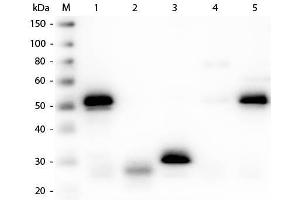 Image no. 1 for Sheep anti-Rabbit IgG (Heavy & Light Chain) antibody (Texas Red (TR)) - Preadsorbed (ABIN102025)