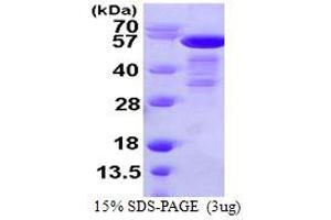 Image no. 1 for SHC (Src Homology 2 Domain Containing) Transforming Protein 1 (SHC1) (AA 1-474) protein (His tag) (ABIN667498)