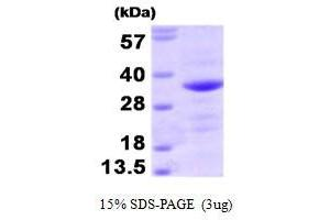 Image no. 1 for BCL2-Associated Athanogene (BAG1) (AA 1-230) protein (ABIN935097)