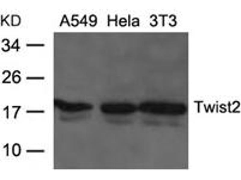 Image no. 1 for anti-Twist Homolog 2 (Drosophila) (TWIST2) (AA 26-30) antibody (ABIN6267794)