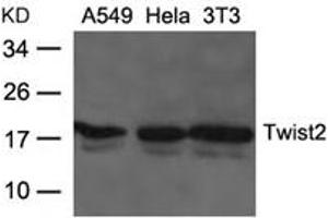 Image no. 1 for anti-Twist Homolog 2 (Drosophila) (TWIST2) (AA 26-30) antibody (ABIN6267794)