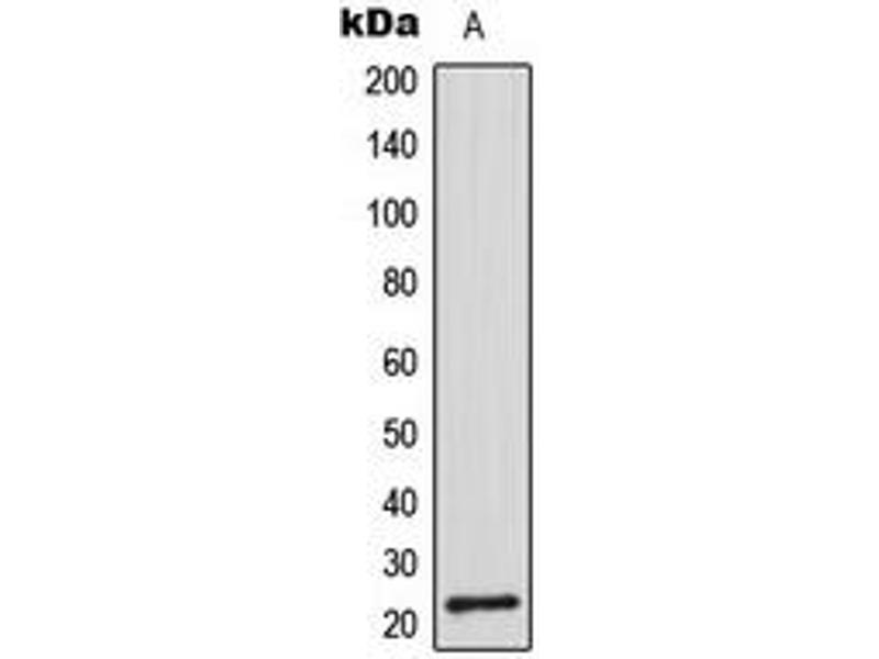 Image no. 2 for anti-CDC42 Effector Protein (Rho GTPase Binding) 2 (CDC42EP2) (N-Term) antibody (ABIN2707411)