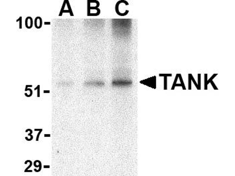 Western Blotting (WB) image for anti-TANK antibody (TRAF Family Member-Associated NFKB Activator) (C-Term) (ABIN2506310)