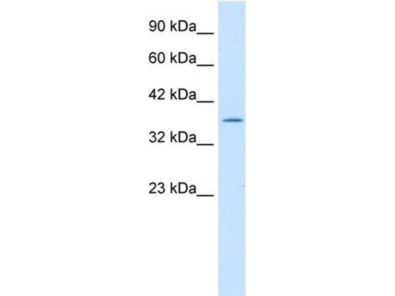 Western Blotting (WB) image for anti-Interleukin Enhancer Binding Factor 2, 45kDa (ILF2) (C-Term) antibody (ABIN183211)