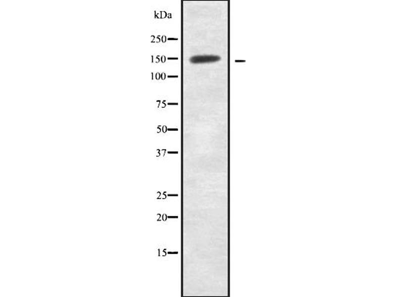 Western Blotting (WB) image for anti-Neurexin 1 (NRXN1) antibody (ABIN6263607)