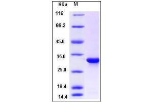 Image no. 1 for Cytochrome B5 Reductase 1 (CYB5R1) (AA 29-305) protein (His tag) (ABIN2005585)