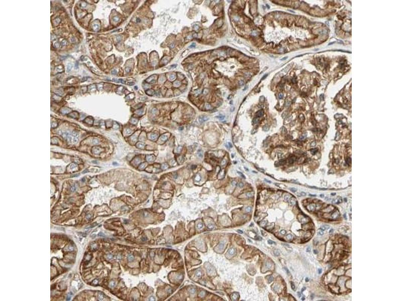 Immunohistochemistry (Paraffin-embedded Sections) (IHC (p)) image for anti-Spectrin alpha Chain, Brain (SPTAN1) antibody (ABIN4279749)