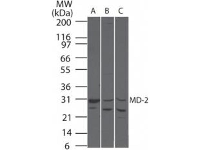 Western Blotting (WB) image for anti-Lymphocyte Antigen 96 (LY96) antibody (ABIN252602)