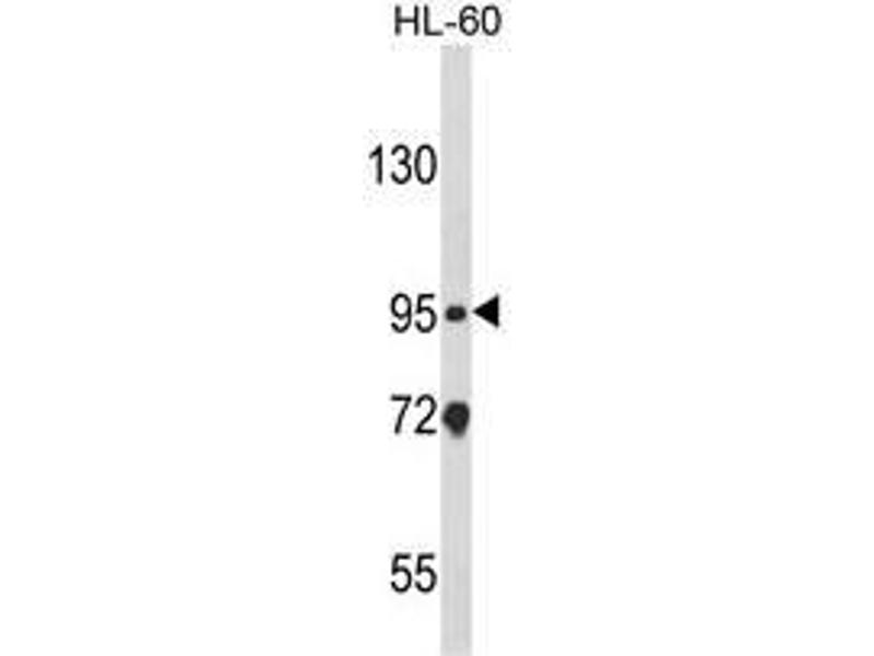 Western Blotting (WB) image for anti-Nucleotide-Binding Oligomerization Domain Containing 1 (NOD1) (C-Term) antibody (ABIN453551)