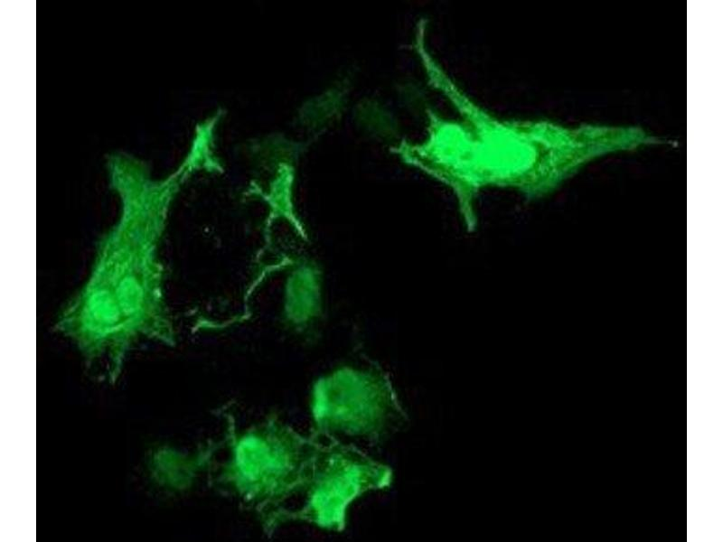 Immunofluorescence (IF) image for anti-RASD Family, Member 2 (RASD2) 抗体 (ABIN4349408)