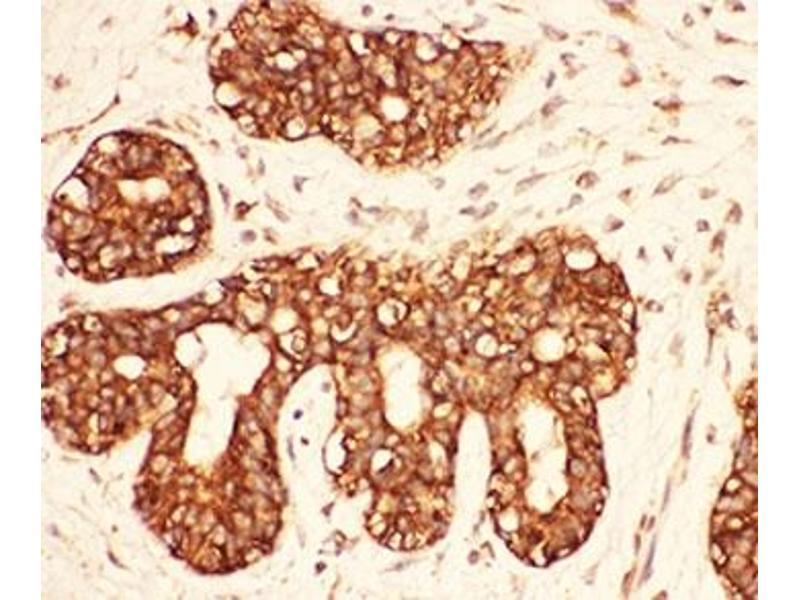 Immunohistochemistry (IHC) image for anti-V-Src Sarcoma (Schmidt-Ruppin A-2) Viral Oncogene Homolog (Avian) (SRC) (AA 2-368) antibody (ABIN3029557)