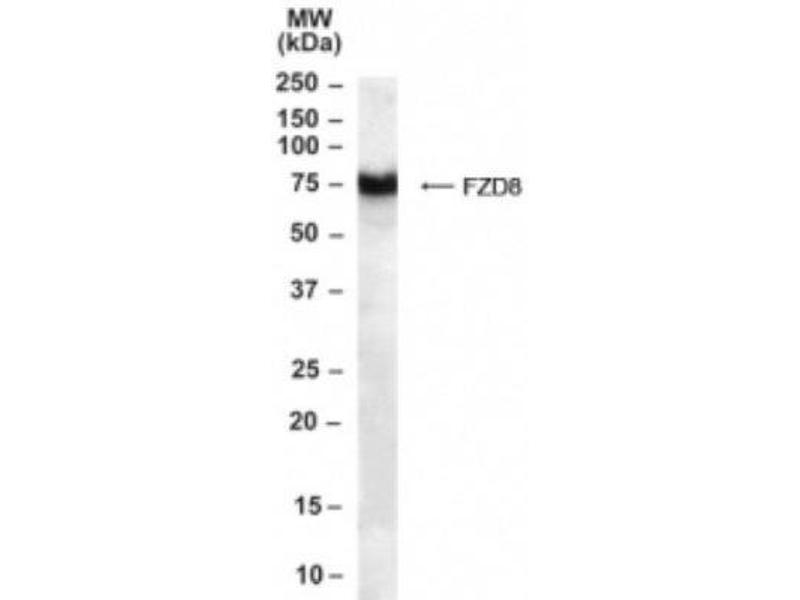 Western Blotting (WB) image for anti-Frizzled Family Receptor 8 (FZD8) (C-Term) antibody (ABIN250857)