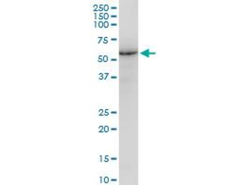 Western Blotting (WB) image for anti-Lamin B1 antibody (LMNB1) (AA 107-186) (ABIN517543)