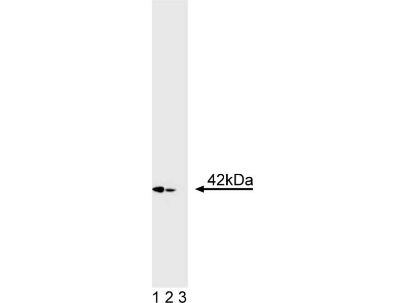Western Blotting (WB) image for anti-ERK2 antibody (Mitogen-Activated Protein Kinase 1) (ABIN967397)