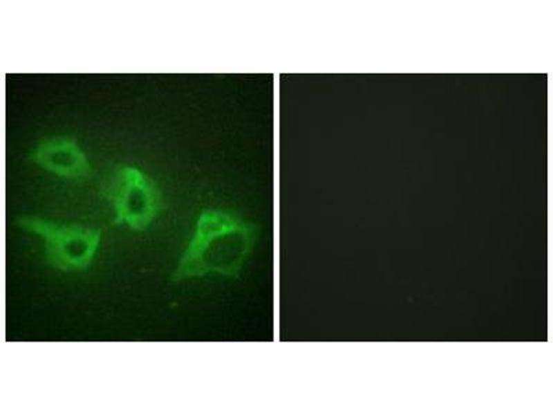 Immunofluorescence (IF) image for anti-Casein Kinase 1, alpha 1 (CSNK1A1) (Internal Region) antibody (ABIN1849386)