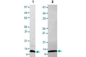 Image no. 1 for Chemokine (C-C Motif) Ligand 4 (CCL4) protein (ABIN5571304)