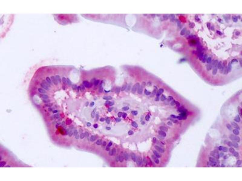 Image no. 2 for anti-Bestrophin 4 (BEST4) (Internal Region) antibody (ABIN1048355)