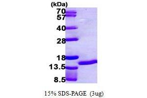 Image no. 1 for S100 Calcium Binding Protein A7 (S100A7) (AA 1-101) protein (His tag) (ABIN667405)
