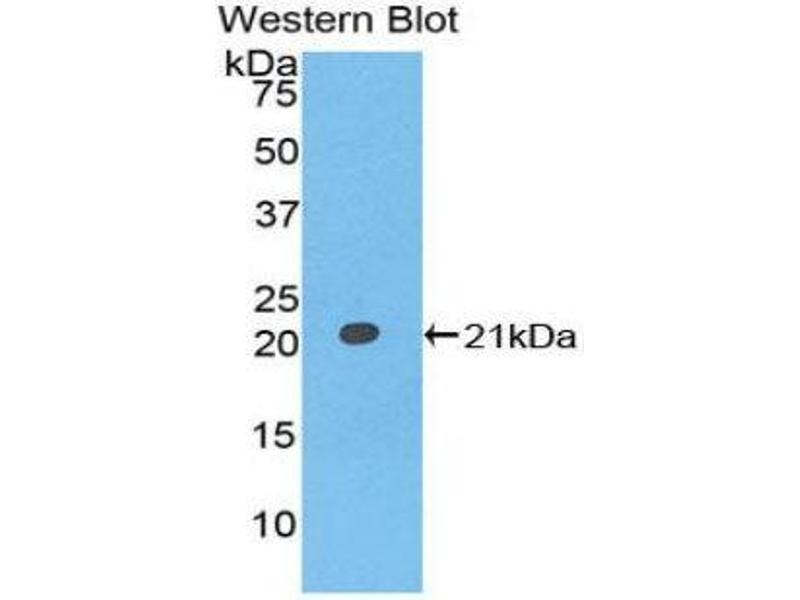 Western Blotting (WB) image for anti-Interferon alpha (IFNA) (AA 24-189) antibody (ABIN1078209)