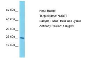 Image no. 1 for anti-Nudix (Nucleoside Diphosphate Linked Moiety X)-Type Motif 3 (NUDT3) (AA 73-122) antibody (ABIN6750585)