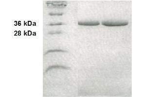 Western Blotting (WB) image for Annexin A5 (ANXA5) Protein (ABIN413009)