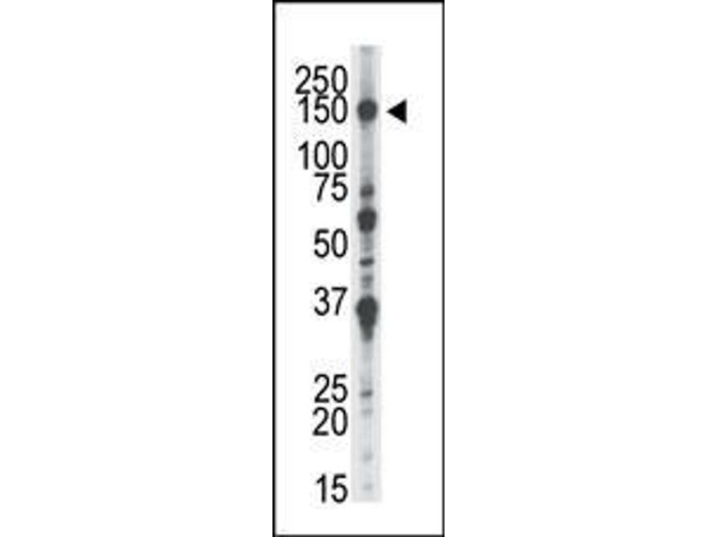 Western Blotting (WB) image for anti-NIMA-Related Kinase 1 (NEK1) (AA 1165-1196), (C-Term) antibody (ABIN392648)