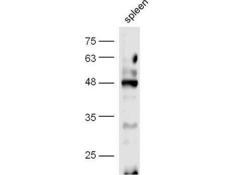 Western Blotting (WB) image for anti-CREB1 antibody (CAMP Responsive Element Binding Protein 1) (AA 115-155) (ABIN723980)