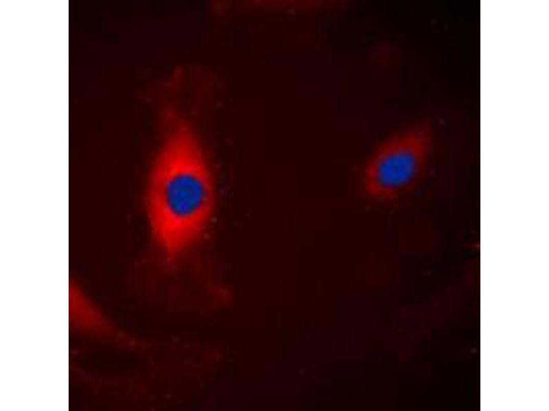 Immunofluorescence (IF) image for anti-Mitogen-Activated Protein Kinase 3 (MAPK3) (Center) antibody (ABIN2706122)