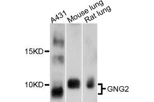 Image no. 1 for anti-Guanine Nucleotide Binding Protein (G Protein), gamma 2 (GNG2) antibody (ABIN6566866)