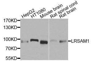 Image no. 1 for anti-Leucine Rich Repeat and Sterile alpha Motif Containing 1 (LRSAM1) antibody (ABIN6143351)