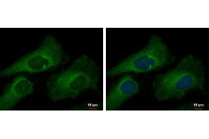Image no. 2 for anti-Mucin 2, Oligomeric Mucus/gel-Forming (MUC2) (C-Term) antibody (ABIN2854828)